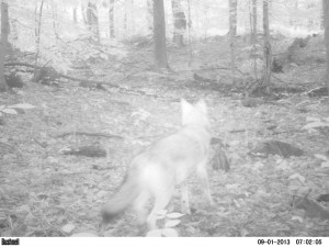 Here's a coyote from my trail-cam check today.
